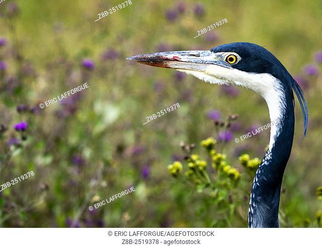 Tanzania, Arusha Region, Ngorongoro Conservation Area, black-headed heron (ardea melanocephala
