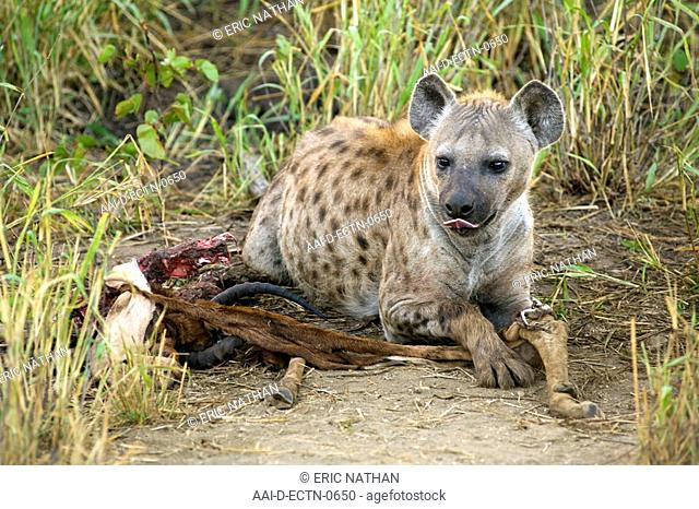 A spotted or laughing hyena Crocuta crocuta at a carcass in the Kruger National Park