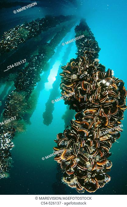 Breeding site for mussels (Mytilus galloprovincialis). Galicia, Spain