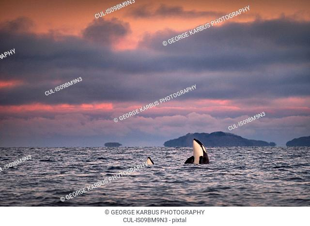 Orcas, killer whales spy hopping, Skjervøy, Troms, Norway