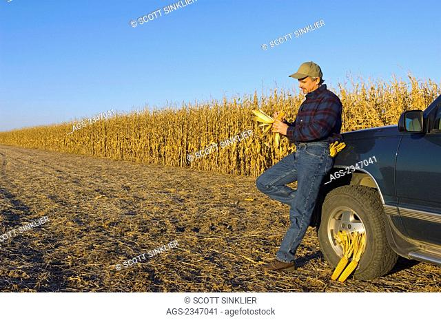 Agriculture - A farmer, leaning on his truck inspects an ear of corn in his hand, with his field of partially harvested mature grain corn in the background /...