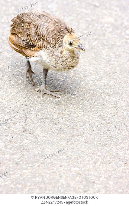 Baby chick peacock roaming on pavement. Australian birds