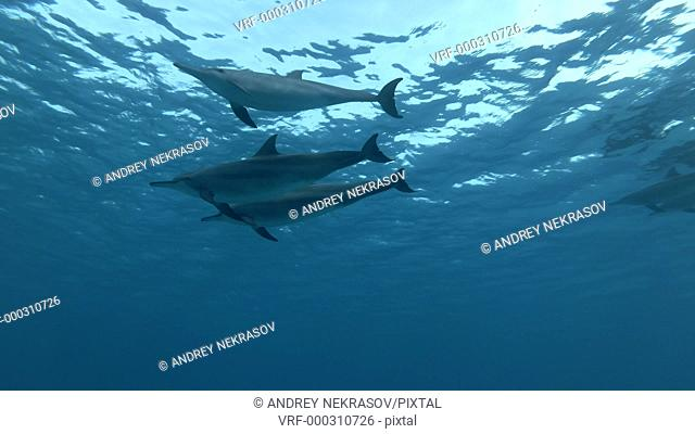 Three Spinner dolphins - Stenella longirostris swims in the blue water over the sandy bottom. Underwater shot, Low-angle shot