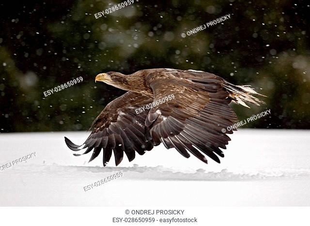 Bird of prey White-tailed Eagle flying in the snow storm