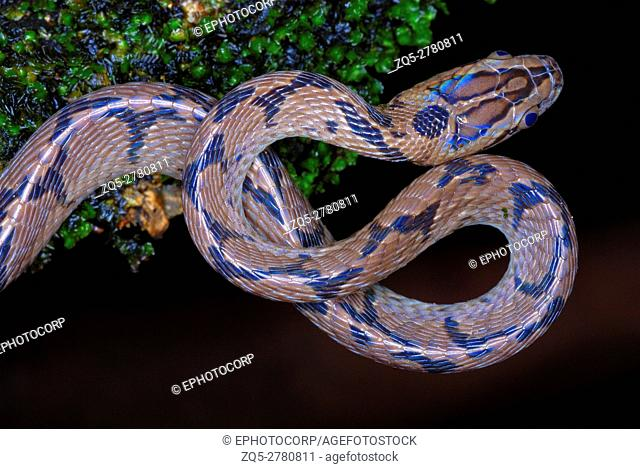 Boiga gokool. Eastern cat Snake. A snake found in the Lowland forest of NE India. Arunachal Pradesh. India