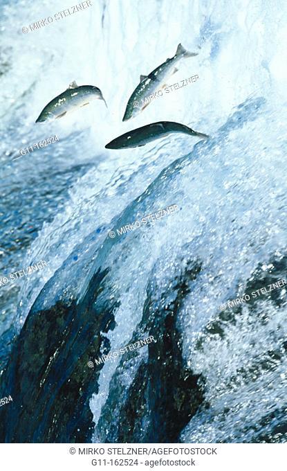Salmon. Alaska. USA