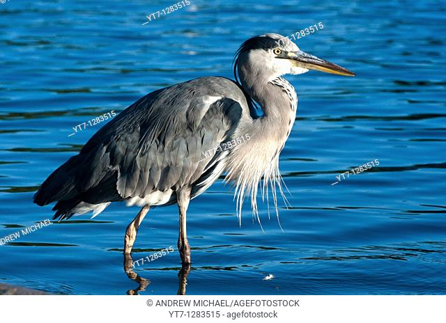 A grey heron seen in the Serpentine in Hyde park, London, in early morning light, UK