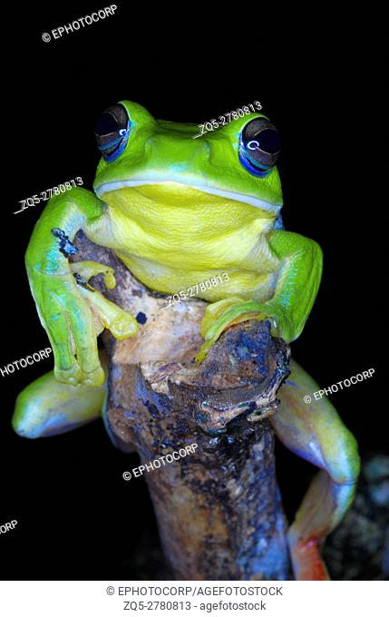 Rhacophorus maximus. a large sized gliding frog found in a puddle of water in the lowland evergreen forests of Arunachal Pradesh. India