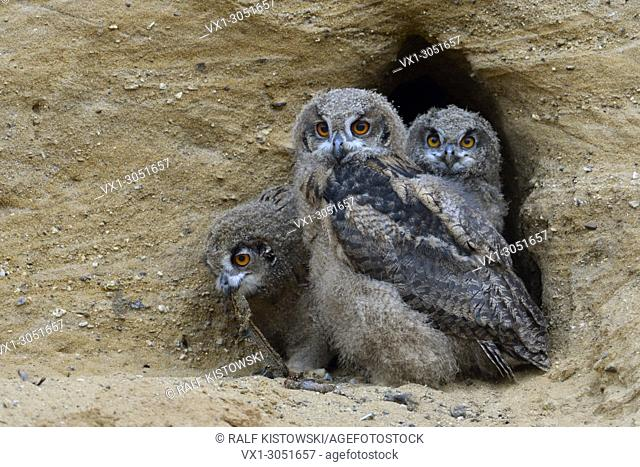 Eurasian Eagle Owls (Bubo bubo ), three chicks in the entrance of their nesting burrow, cute and funny wildlife, Europe