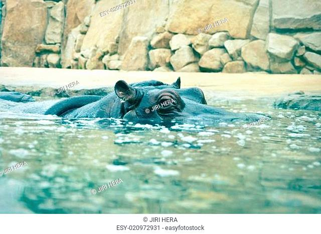 hippopotamus looking out of the water