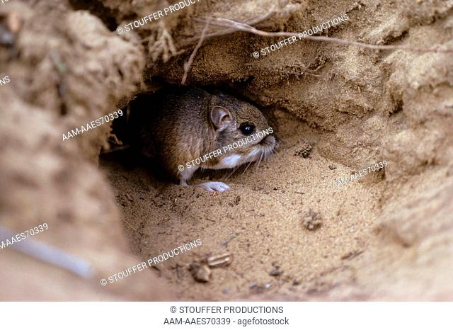 Morro Bay Kangaroo Rat Endangered Species, Burrow, Morro Bay, Ca