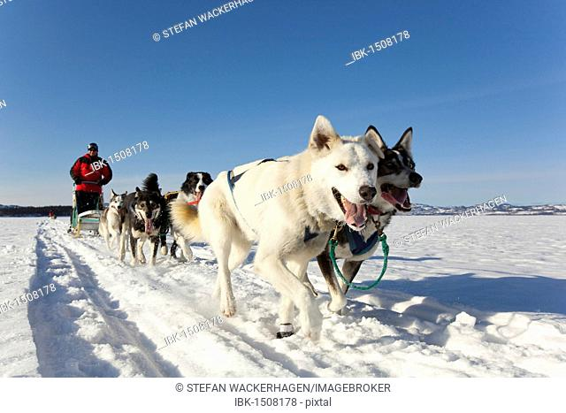 Two leaders, lead dogs, man, musher running, driving a dog sled, team of sled dogs, Alaskan Huskies, frozen Lake Laberge, Yukon Territory, Canada