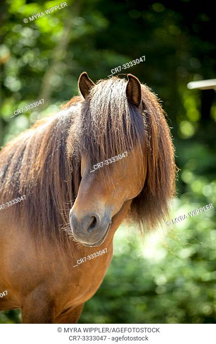 Brown icelandic horse gelding posing with a green background