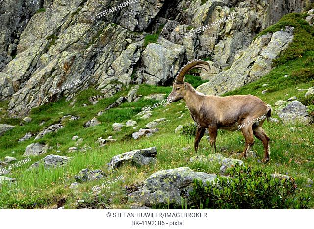 Alpine Ibex (Capra ibex) standing in rocky area, near Chamonix, France