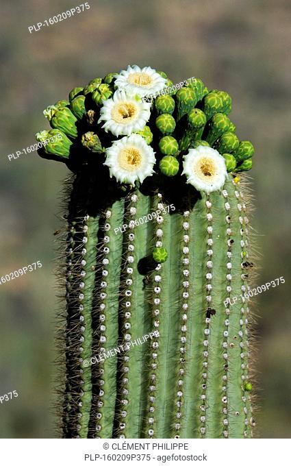 Saguaro cactus (Carnegiea gigantea / Cereus giganteus / Pilocereus giganteus) blooming, showing buds and white flowers, Sonoran desert, Arizona, USA