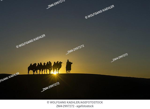 A Mongolian herder is riding with Bactrian camels at sunset (sunburst) on the Hongoryn Els sand dunes in the Gobi Desert