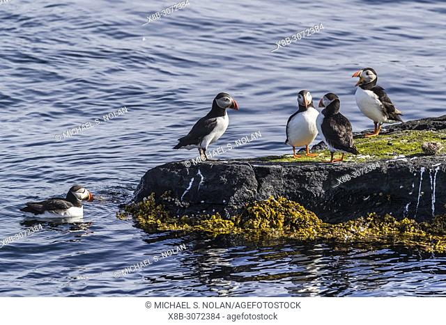 Adult Atlantic puffins, Fratercula arctica, near Stykkishhólmur on the Snæfellsnes Peninsula, Iceland