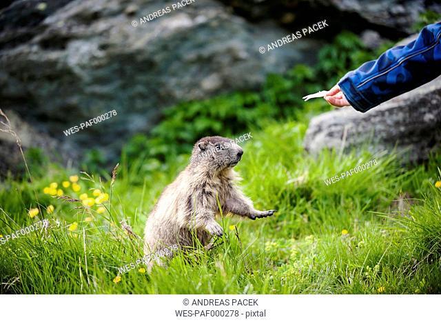 Austria, Carinthia, Kaiser-Franz-Josefs-Hoehe, boy feeding alpine marmot (marmota marmota)