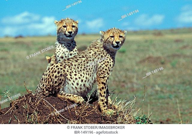 Cheetah (acinonyx jubatus), Masai Mara, Kenya, Africa