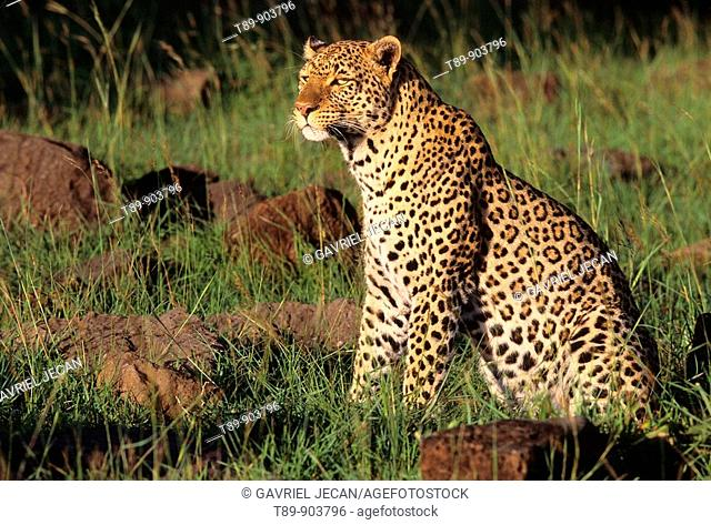Leopard male Panthera pardus