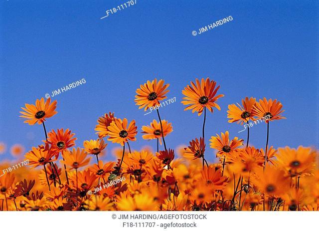 Cape Marigolds (Dimorphotheca sinuata), Skilpad wildflower reserve near Kamieskroon. Northern Cape, South Africa