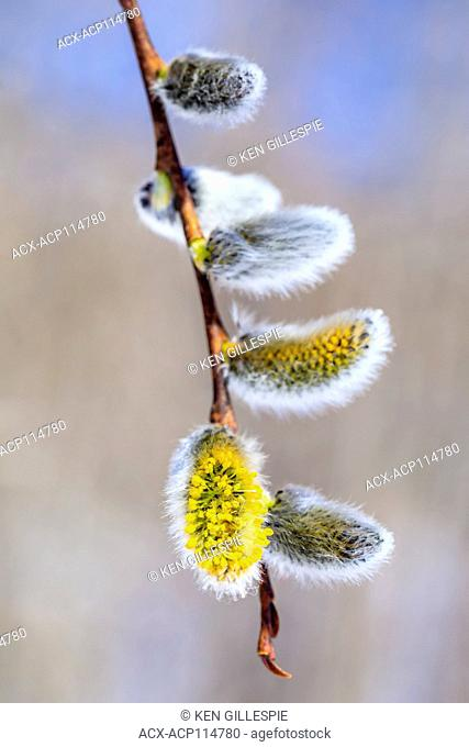 Pussy Willows in spring, Ontario, Canada
