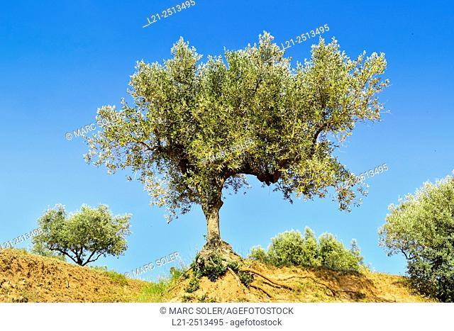 Olive grove, olive trees. La Garriga, Catalonia, Spain