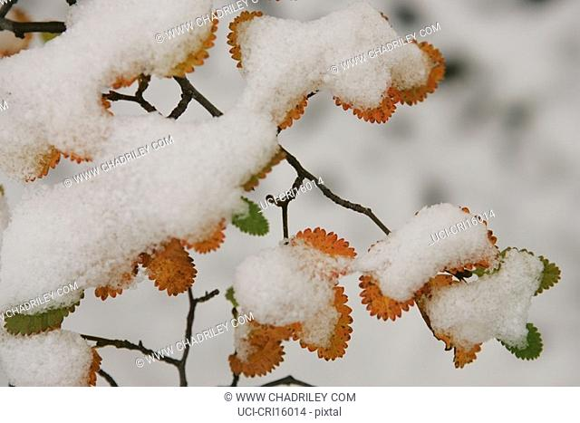 Snowy autumn leaves