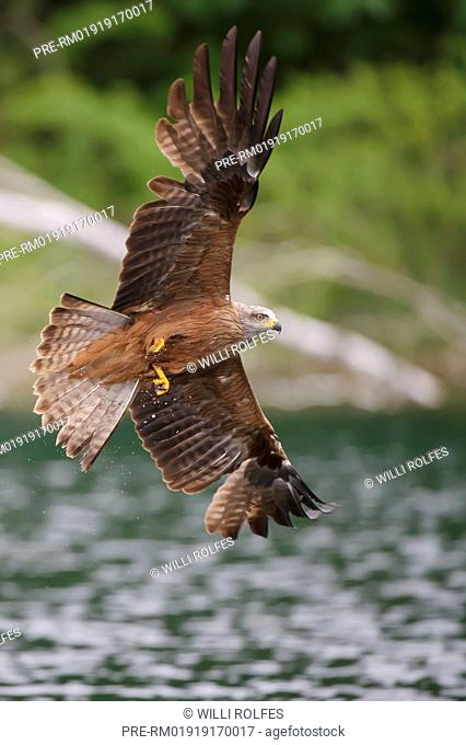 Black Kite hunting, Milvus migrans, Germany, Europe