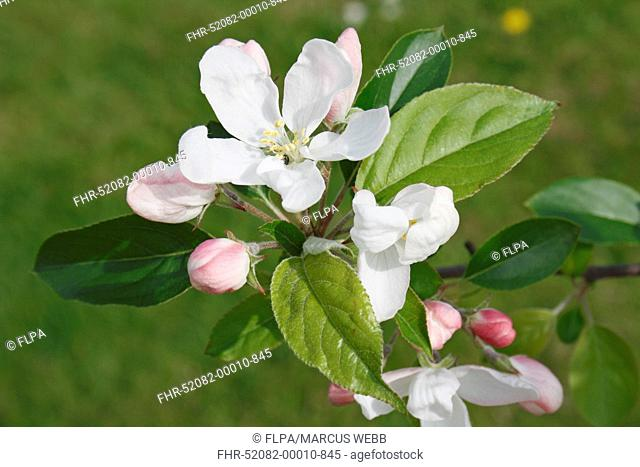 John Downie Crabapple Malus sp John Downie, close-up of flowers, flowerbuds and leaves, in garden, Suffolk, England, april