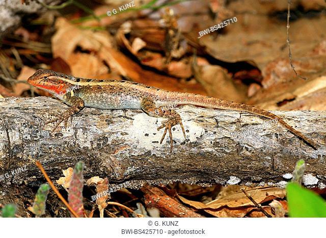 rose-bellied lizard (Sceloporus variabilis), male, Costa Rica