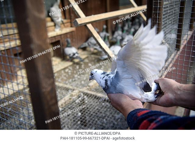 02 November 2018, Baden-Wuerttemberg, Stuttgart: A pigeon fancier places a carrier pigeon in an aviary in a carrier pigeon club