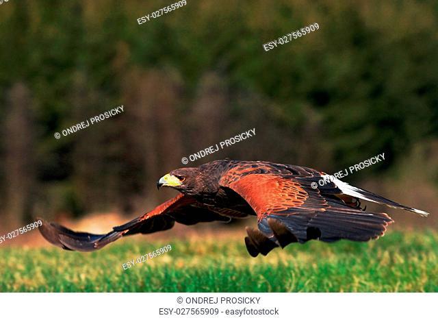 Flying bird of prey, Harris Hawk, Parabuteo unicinctus, landing