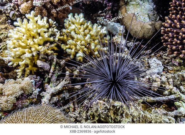 Hard and soft corals and long-spined urchin at night on Sebayur Island, Komodo National Park, Indonesia