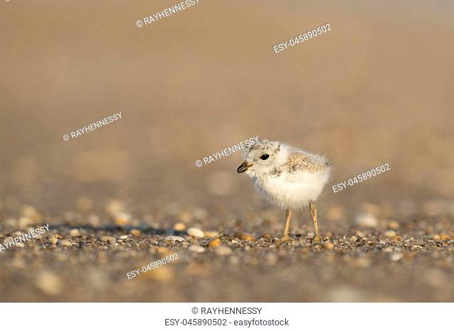 An endangered cute and tiny Piping Plover chick stands on a pebble covered beach in the early morning sunlight