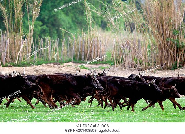 France, Camargue, cattle, Bos taurus, Running