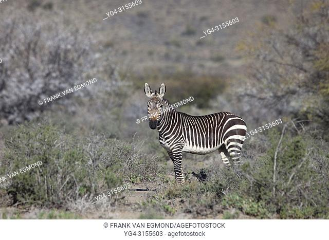 Cape Mountain Zebra, Karoo National Park, South Africa