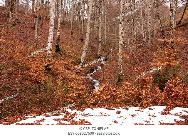 Beech forest in the jungle of Irati