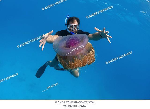 man looks at jellyfish Cauliflower jellyfish (Cephea cephea) Indian Ocean, Maldives
