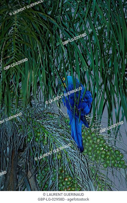 Macaw-blue, Pantanal, Mato Grosso do Sul, Brazil