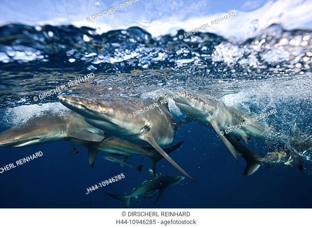 Blacktip Sharks, Carcharhinus limbatus, Aliwal Shoal, Indian Ocean, South Africa, sharks, Blacktip Shark, Blacktip Sharks, Requiem Shark, Ground Shark