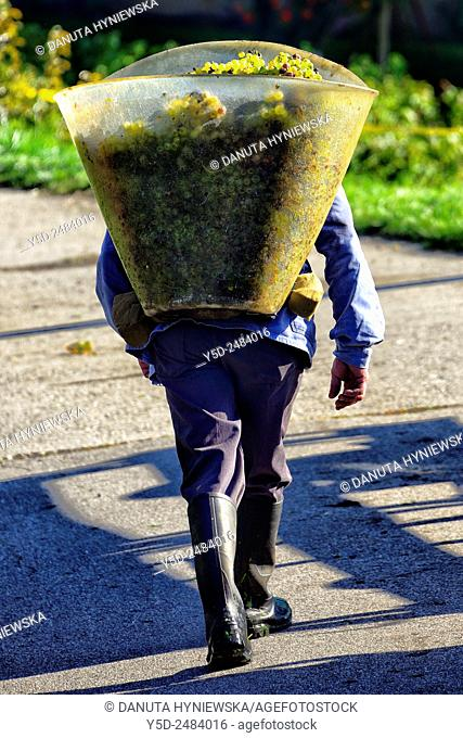 Europe, Switzerland, Canton Vaud, La Côte region , District Morges, Aubonne, man carrying big container full of grapes on his back, harvest time