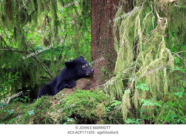 Black bear cub in the Great Bear Rainforest, British Columbia, Canada