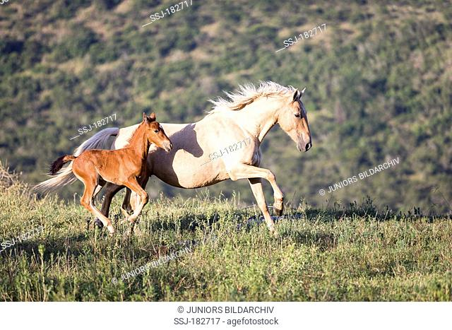 Nooitgedacht Pony. Palomino mare with foal galloping on a pasture. South Africa