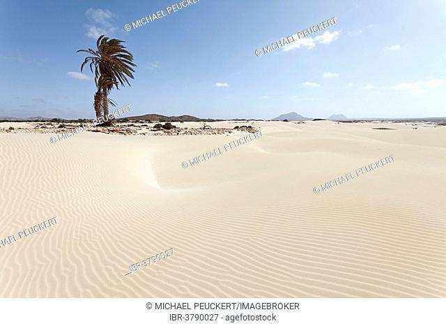 Solitary palm tree in the sand dunes of the desert Deserto Viana, island of Boa Vista, Cape Verde, Republic of Cabo Verde