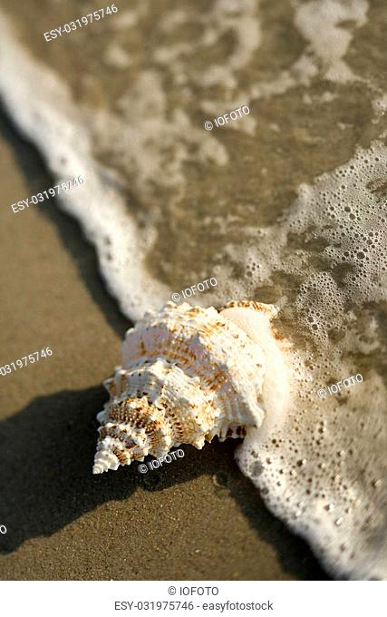 Close-up of conch shell with wave engulfing it