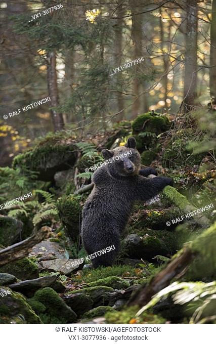 European Brown Bear ( Ursus arctos ), cute cub, stands upright in a wild autumnal colored ravine forest, Europe