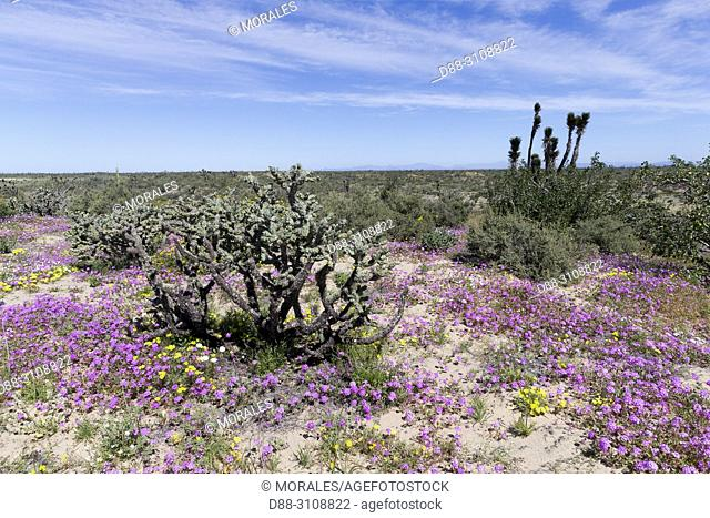 Central America, Mexico, Baja California Sur, Guerrero Negro, Desert in bloom after a rain with different cacti