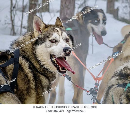 Husky sled dogs, Lapland, Finland