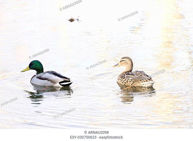 anas platyrhynchos,swimming in the lake looking for food